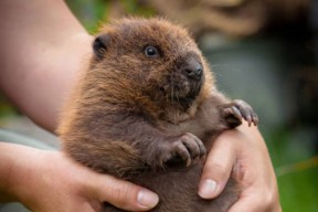 Baby-Beaver-Kit-2-288x192